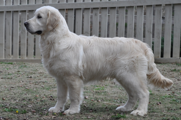 English Cream Golden Retriever Breeders - Int CH Tramin Tangerine Dream CDX CCA RE CGC