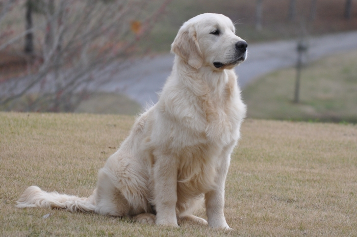 Int CH Tramin Tangerine Dream CDX CCA RE CGC - English Cream Golden Retriever Breeders