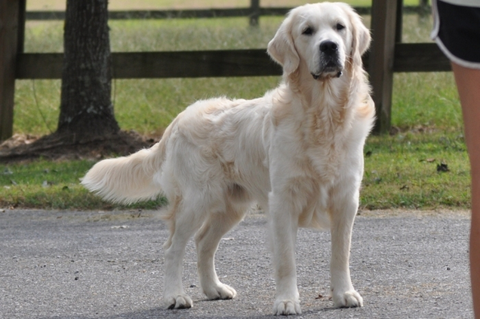 English Cream Golden Retriever Puppies for Sale- Jack