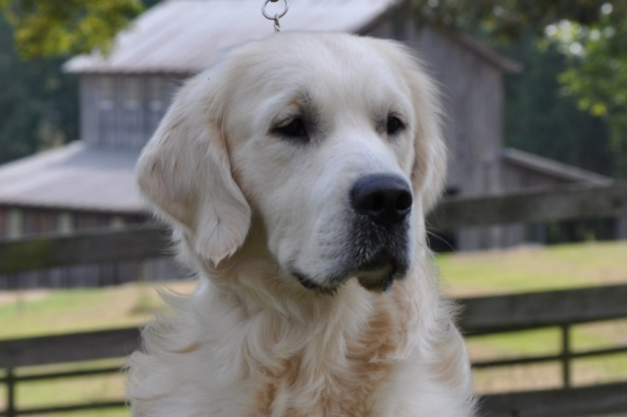 Jack - English Cream Golden Retriever Puppies for Sale