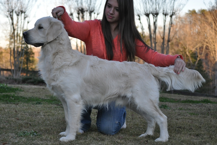 English Cream Golden Retriever Breeders - Jack