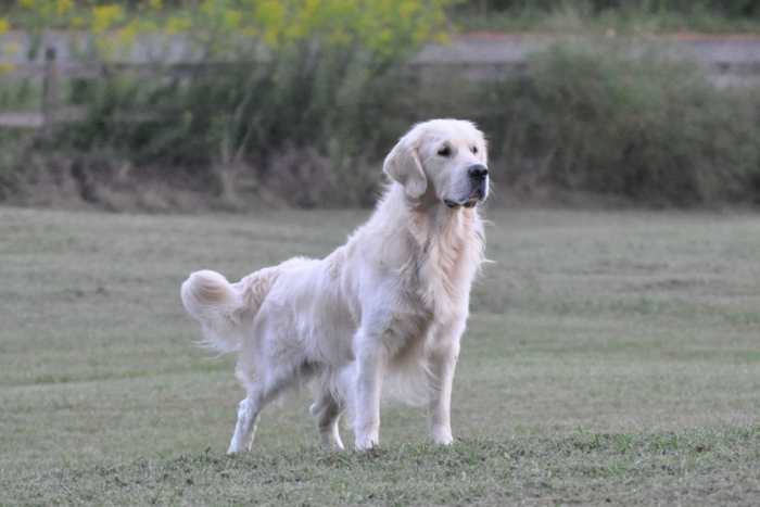Jack - English Cream Golden Retriever Breeders