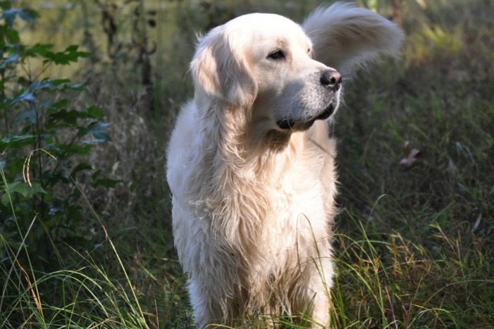 Information about English Golden Retrievers