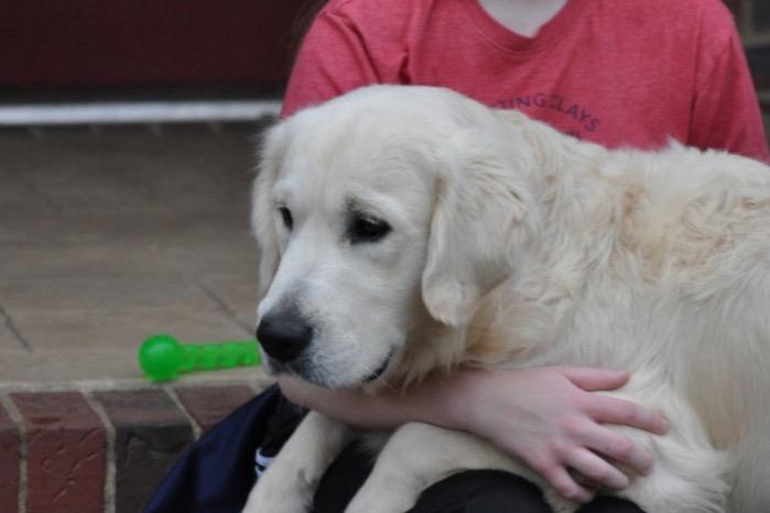 "Int CH Dream Max Lugo CCA CGC ""Luke"" - English Golden Retriever Puppies for Sale"