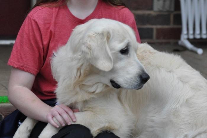 "English Golden Retriever Puppies for Sale - Int CH Dream Max Lugo CCA CGC ""Luke"""