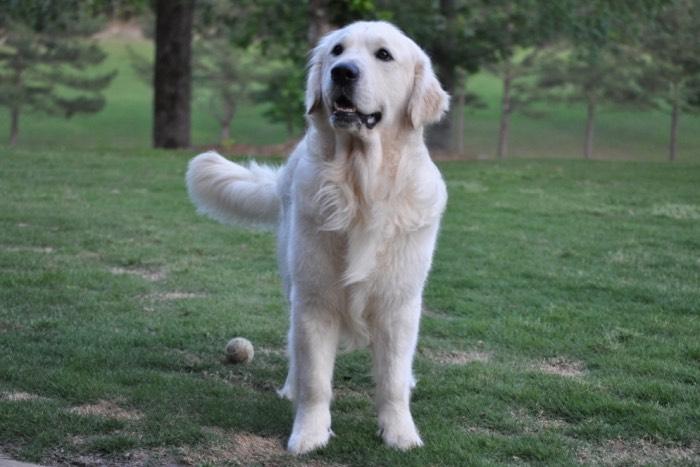 "English Cream Golden Retriever Puppies for Sale -  Int CH Dream Max Lugo CCA CGC ""Luke"""