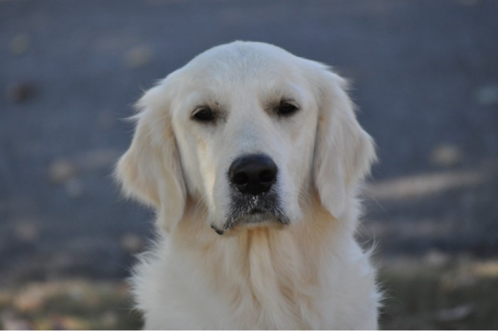 English Cream Golden Retriever Adults - Eva