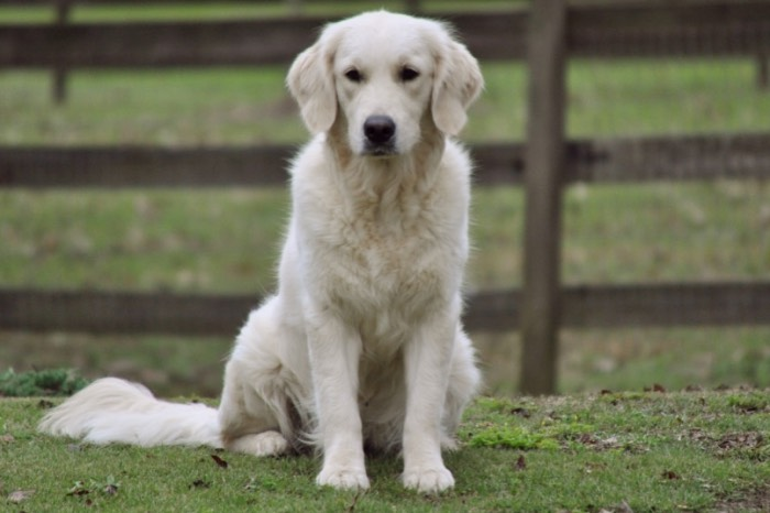 English Cream Golden Retriever Breeders - Tara