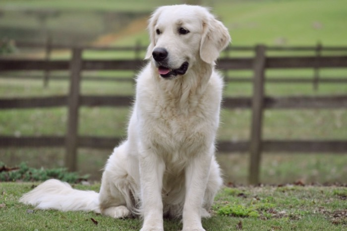 Summer Brook Nothing But Love CDX RE CGC - English Cream Golden Retriever Breeders