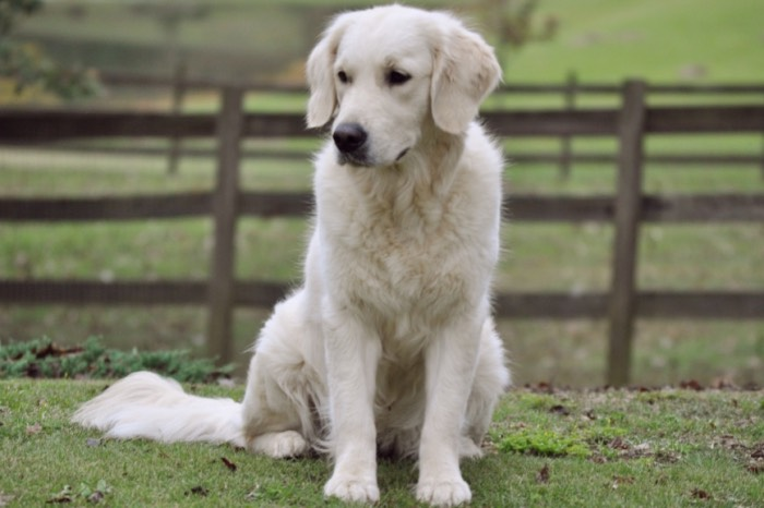 Summer Brook Nothing But Love CDX RE CGC - English Golden Retriever Breeders