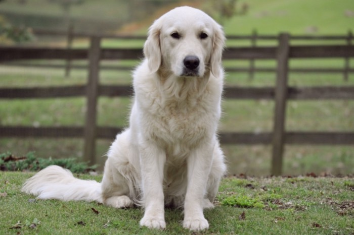 English Golden Retriever Breeders - Summer Brook Nothing But Love CDX RE CGC