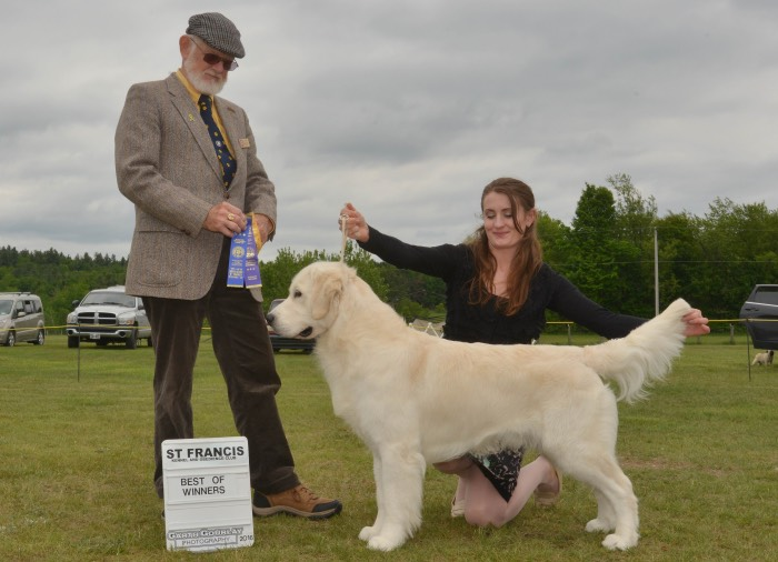 English Cream Golden Retriever Breeders