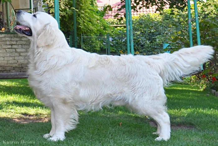 Summer Brook - English Cream Golden Retriever Breeder