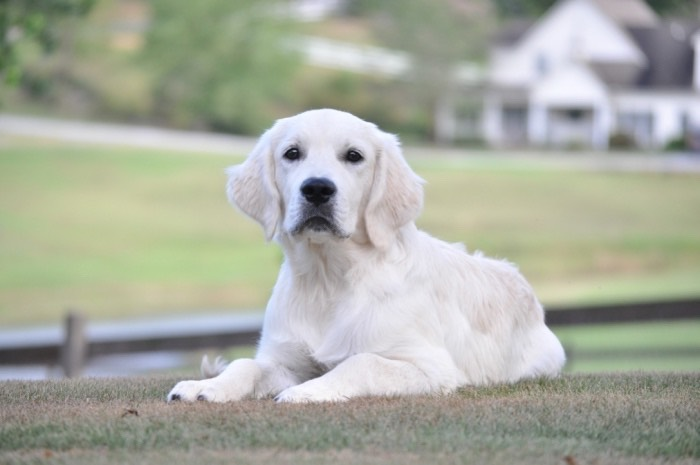 Trained English Golden Retriever Puppy for Sale