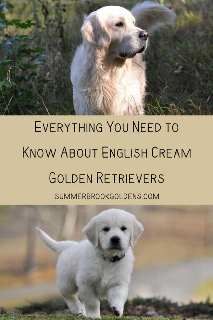 Everything You Need to Know About English Cream Golden Retrievers