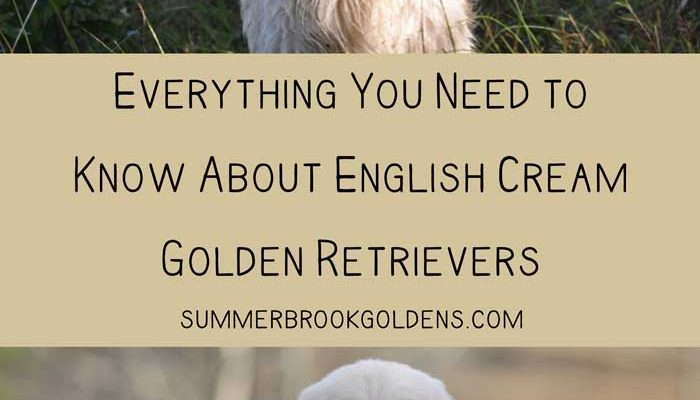 Find out everything that you need to know about English Golden Retrievers which are also known as English Cream Golden Retrievers! Are they different from American Golden Retrievers? What are their temperaments like? Are they a healthy breed? You can find out here!