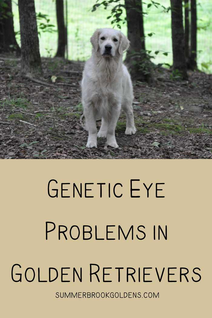 Genetic Eye Problems in Golden Retrievers