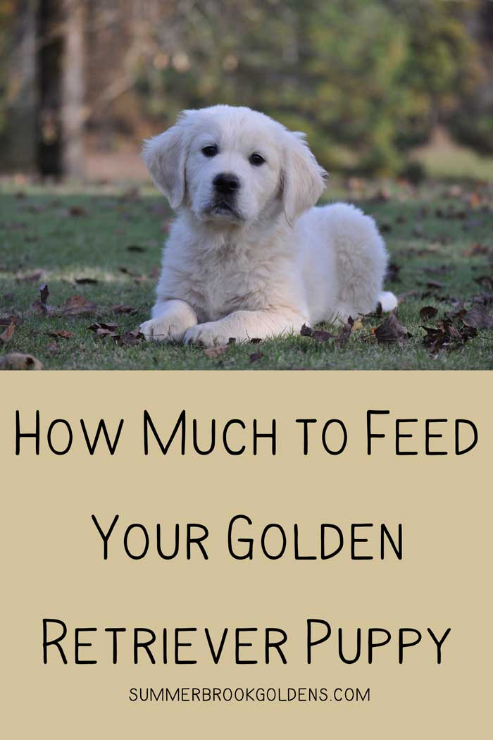 How Much to Feed Your Golden Retriever Puppy