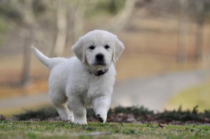 Piper English Cream Golden Retriever Puppy