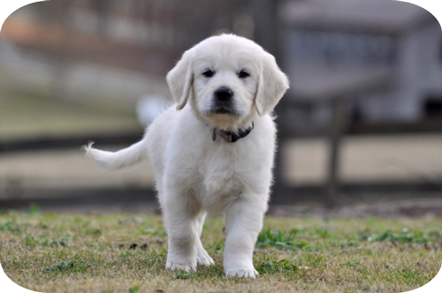 Trained English Golden Retriever Puppy