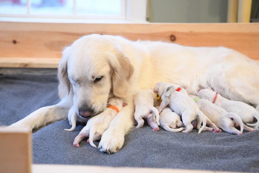 Tara Cleaning newborn puppies