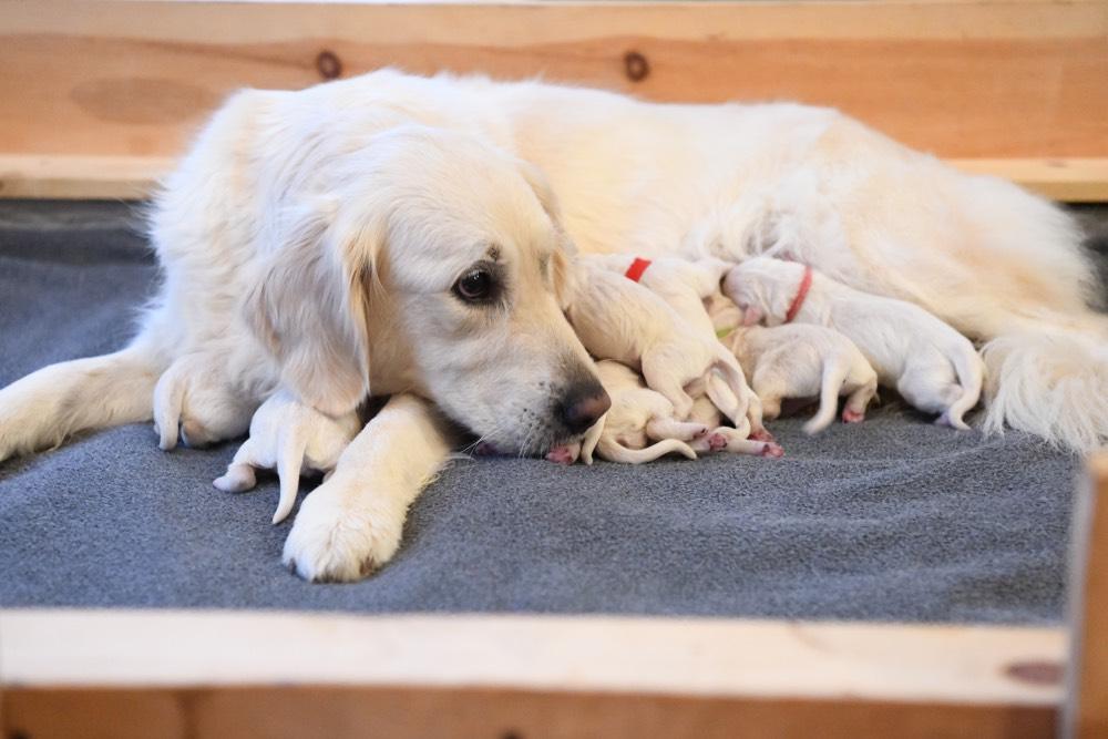 Tara Looking at her newborn puppies