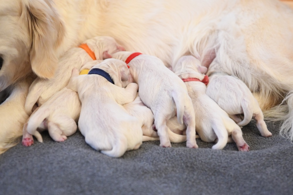 Tara's newborn puppies nursing