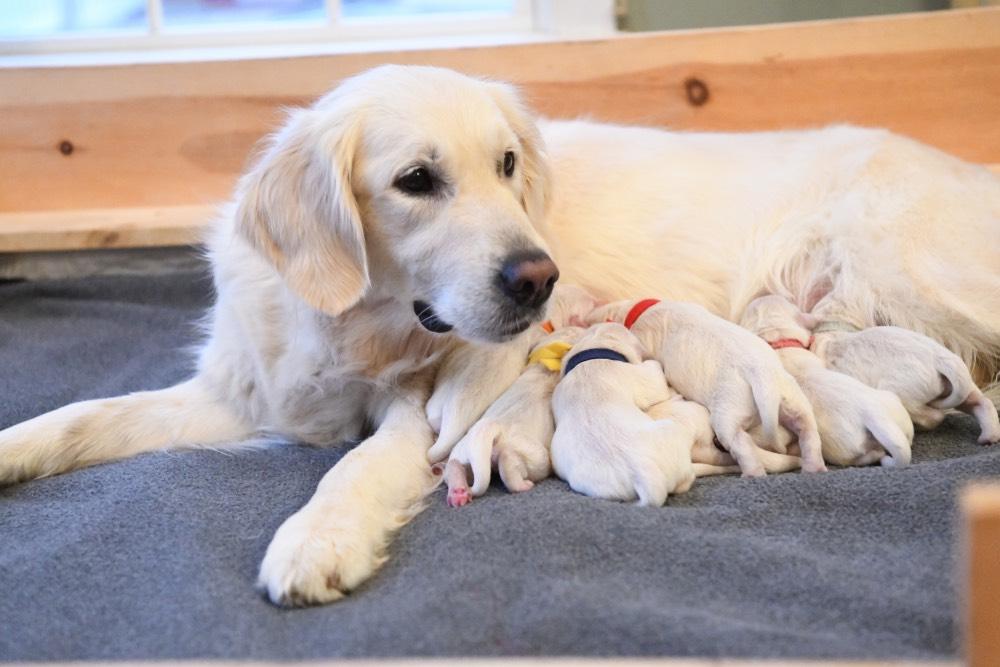 Beautiful Tara with her newborn puppies
