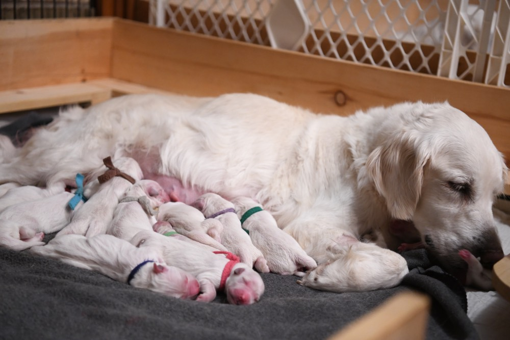 newborn puppy development
