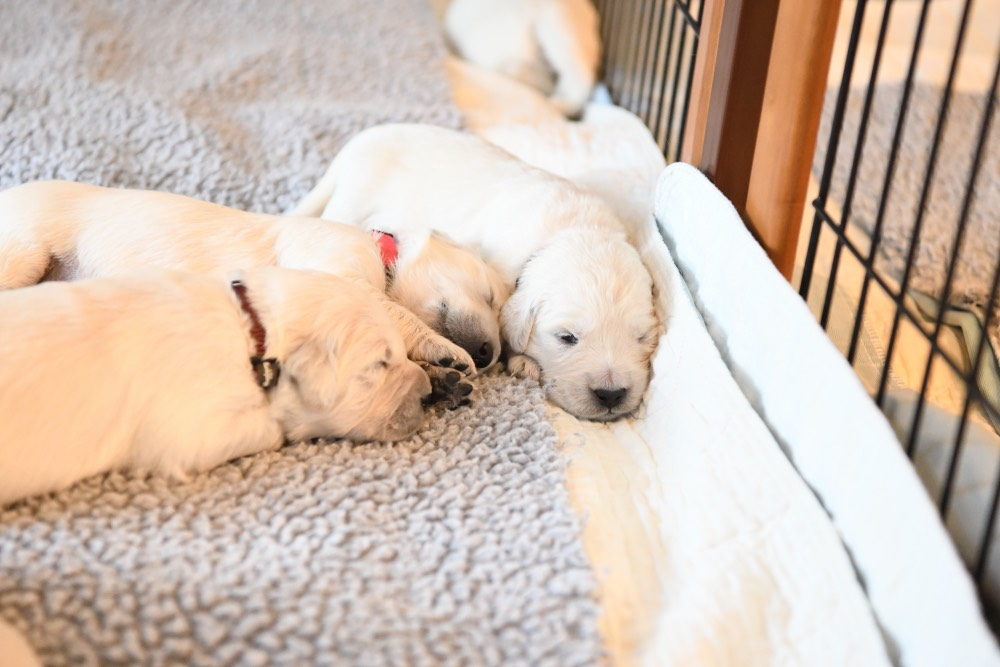 three 2-week old puppies