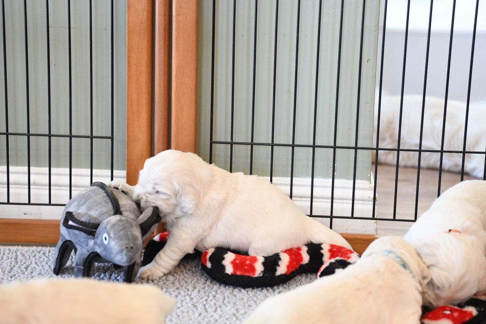3 week old puppy playing with a toy