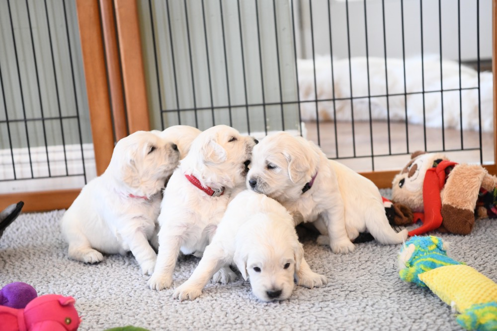 group shot of 3 week old puppies