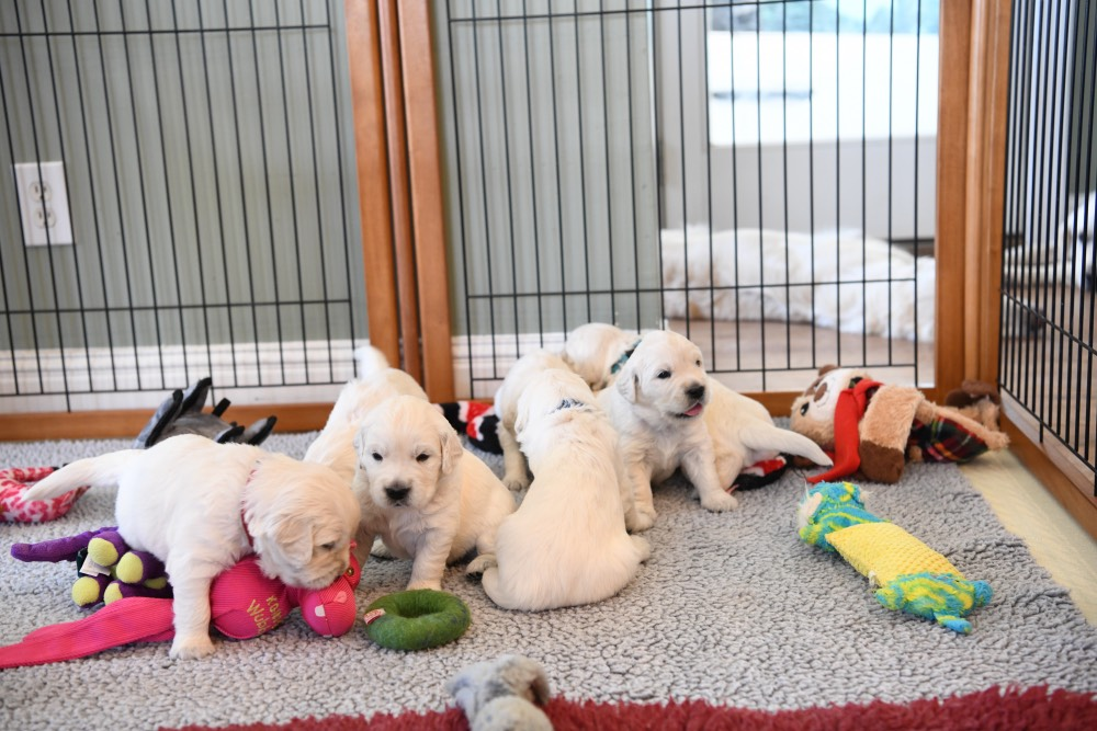 3 week old litter of puppies
