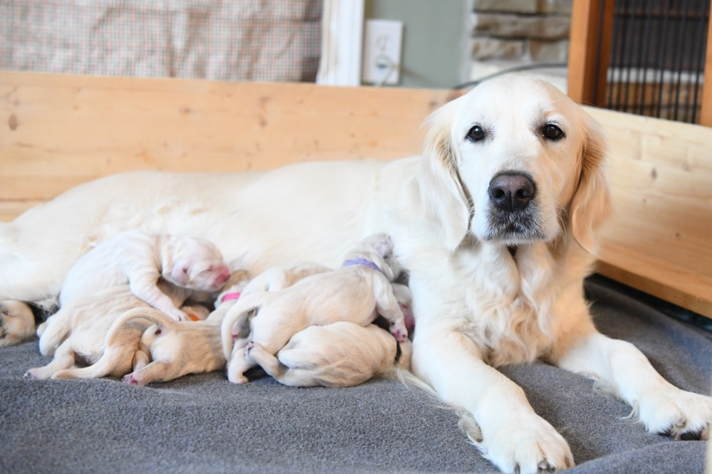Piper looking at camera with newborn puppies
