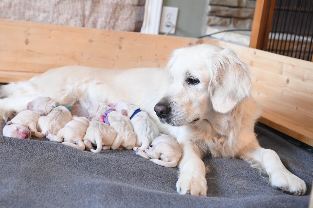 Piper looking left with newborn puppies