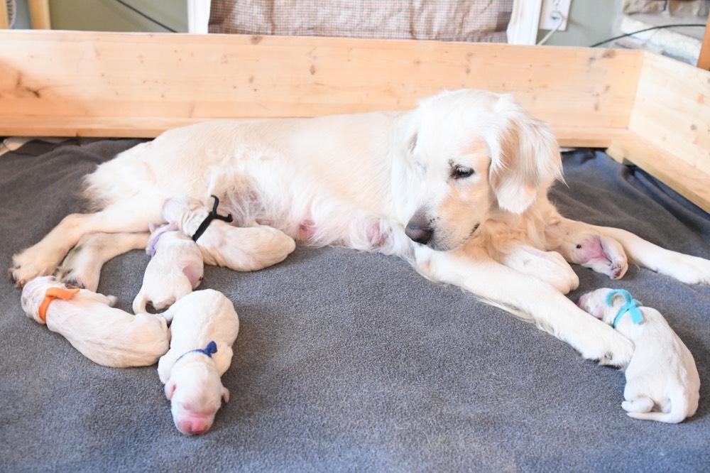 Piper gazing at newborn puppies