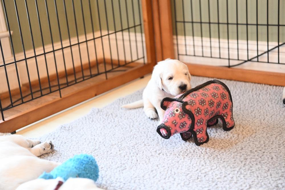 An Eva 3 week old puppy