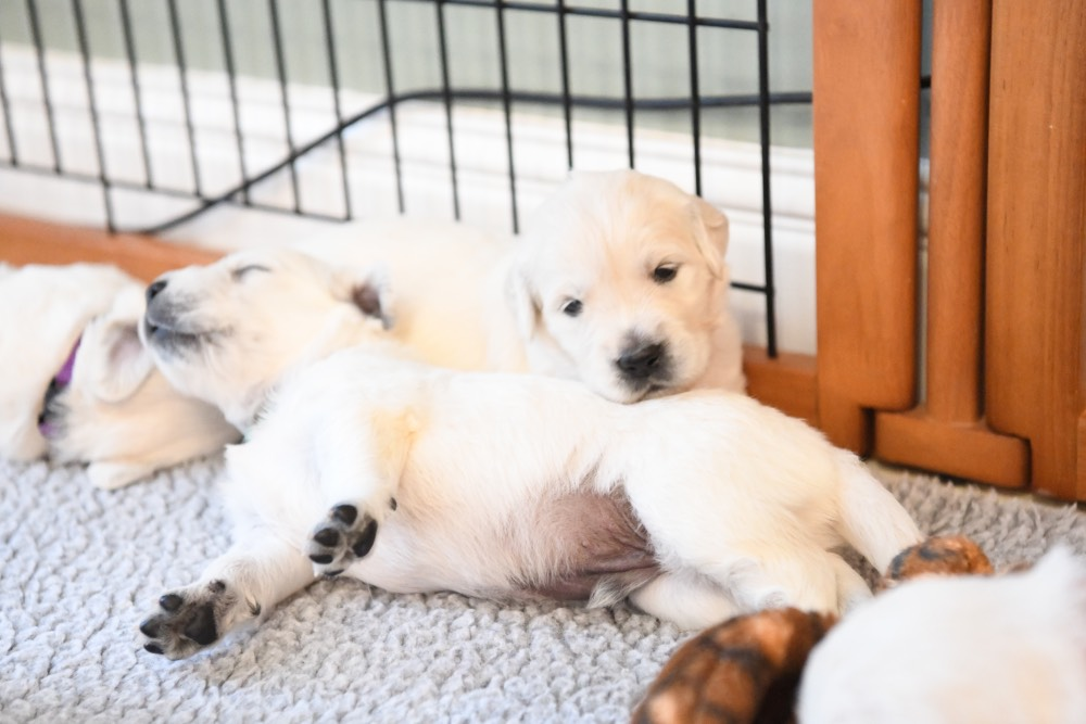 two 3 week old puppies snuggling