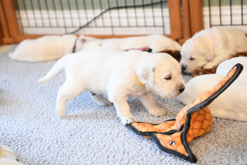 Eva's puppy checking out a toy