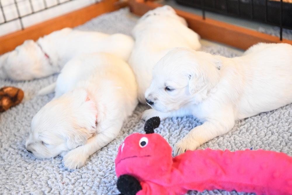 four Eva 3-week old puppies