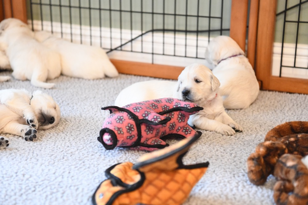 Eva's 3 week old puppy with toy
