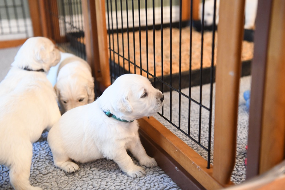 3-week old puppy looking through fence