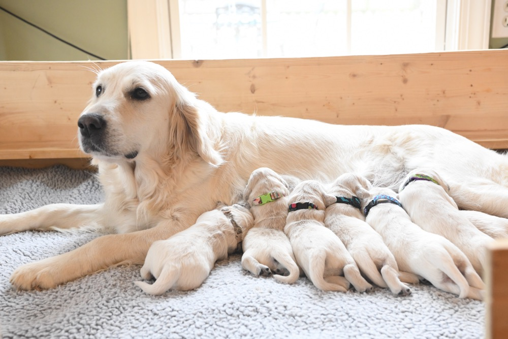 Piper with 1 week old puppies