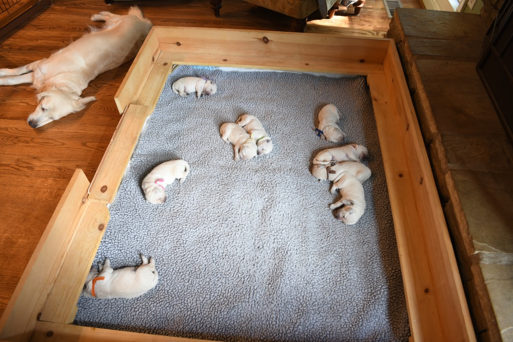 whelping box with Piper's 1 week old puppies