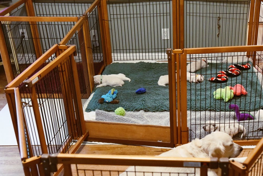 set-up for 2 week old puppies with Piper puppies