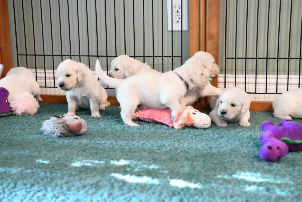 Piper's 3 week old puppies