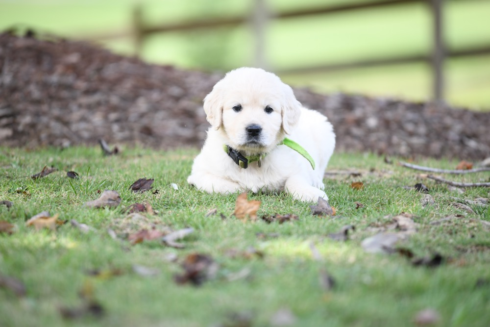 Piper's 5 week old puppies - Miss Green