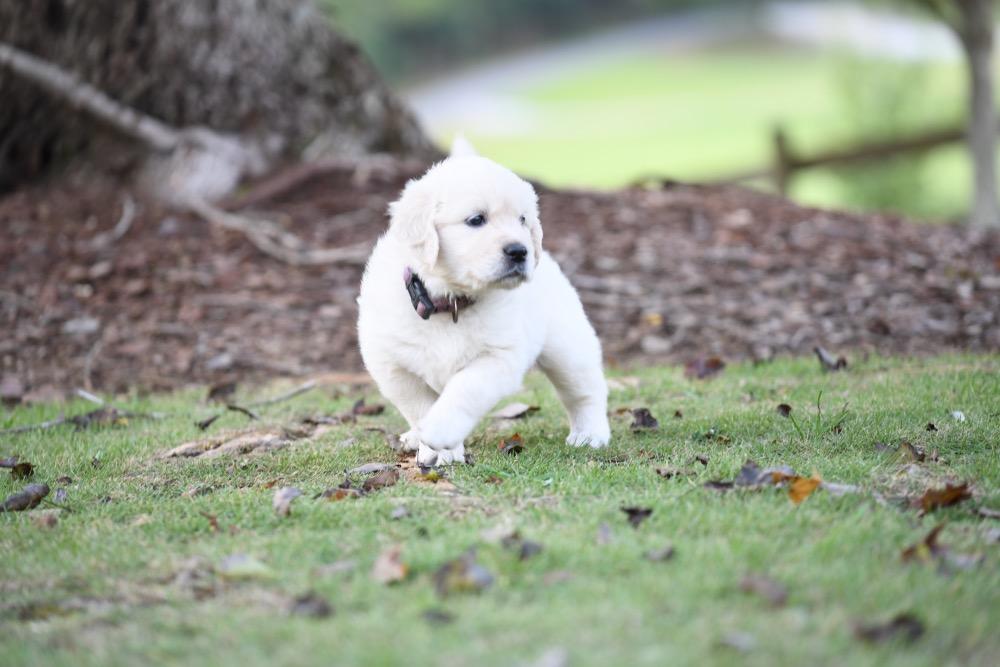 Piper's 5 week old puppies - Miss Purple