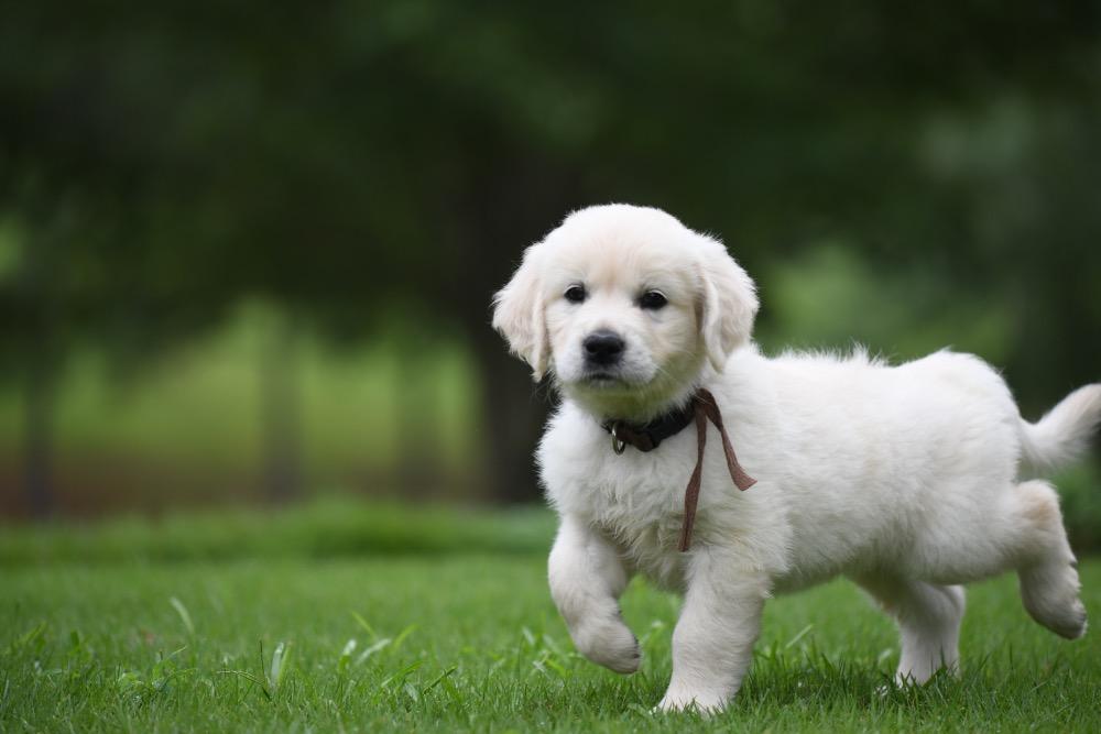 Piper's 6 Week Old Puppies - Mr. Brown