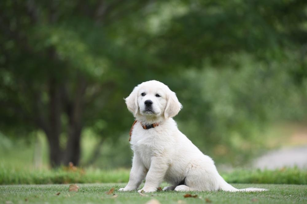 Piper's 8 1/2 Week Old puppies - Orange